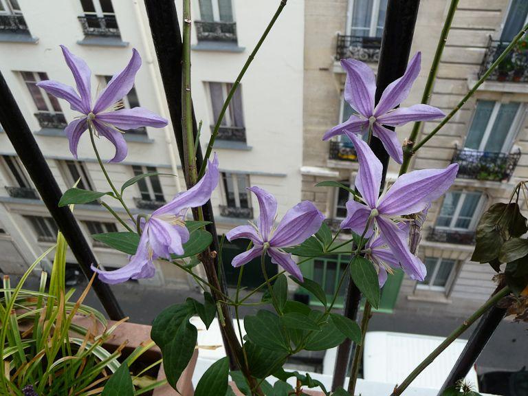 Clématite Blue River sur mon balcon en automne, Paris 19e (75), 6 octobre 2012, photo Alain Delavie  http://www.pariscotejardin.fr/2012/10/dernieres-fleurs-de-ma-clematite-blue-river/