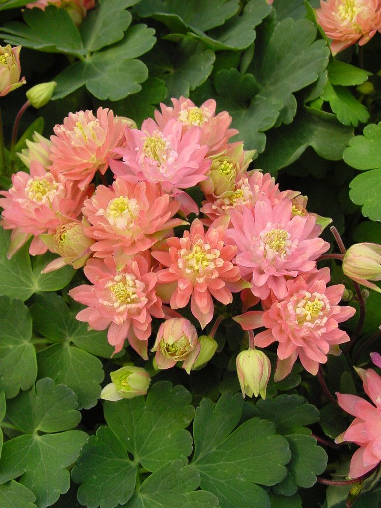Bulk Aquilegia Seeds Clementine Perennial Seeds Vibrant Flower And