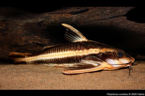 Striped Raphael Catfish Aquarium Fish Freshwater Fish Fish Pet