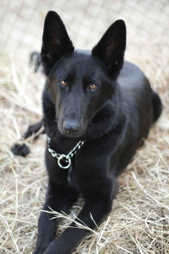 Black German Shepherd Black German Shepherd Dog German Shepherd