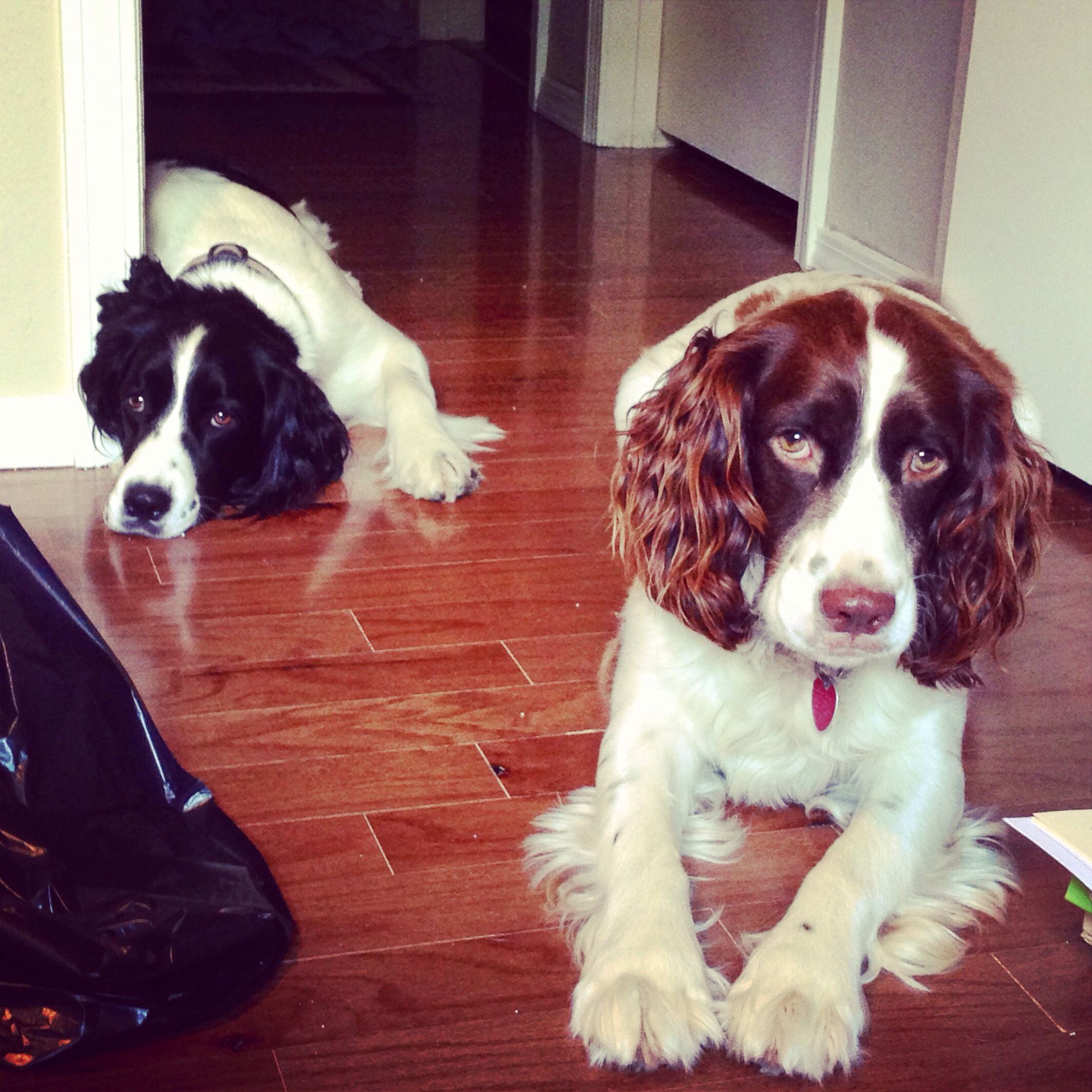 Springer Spaniels Black And White Liver And White Hope You Re Doing Well From Your Friends At Phoenix Dog Springer Spaniel English Springer Spaniel Spaniel