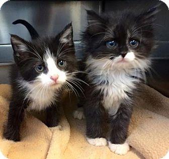 Knoxville Tn Domestic Longhair Meet Ken And Barbie A Kitten For Adoption Http Www Adoptapet Com Pet 1572925 Kitten Adoption Pets Cute Animals