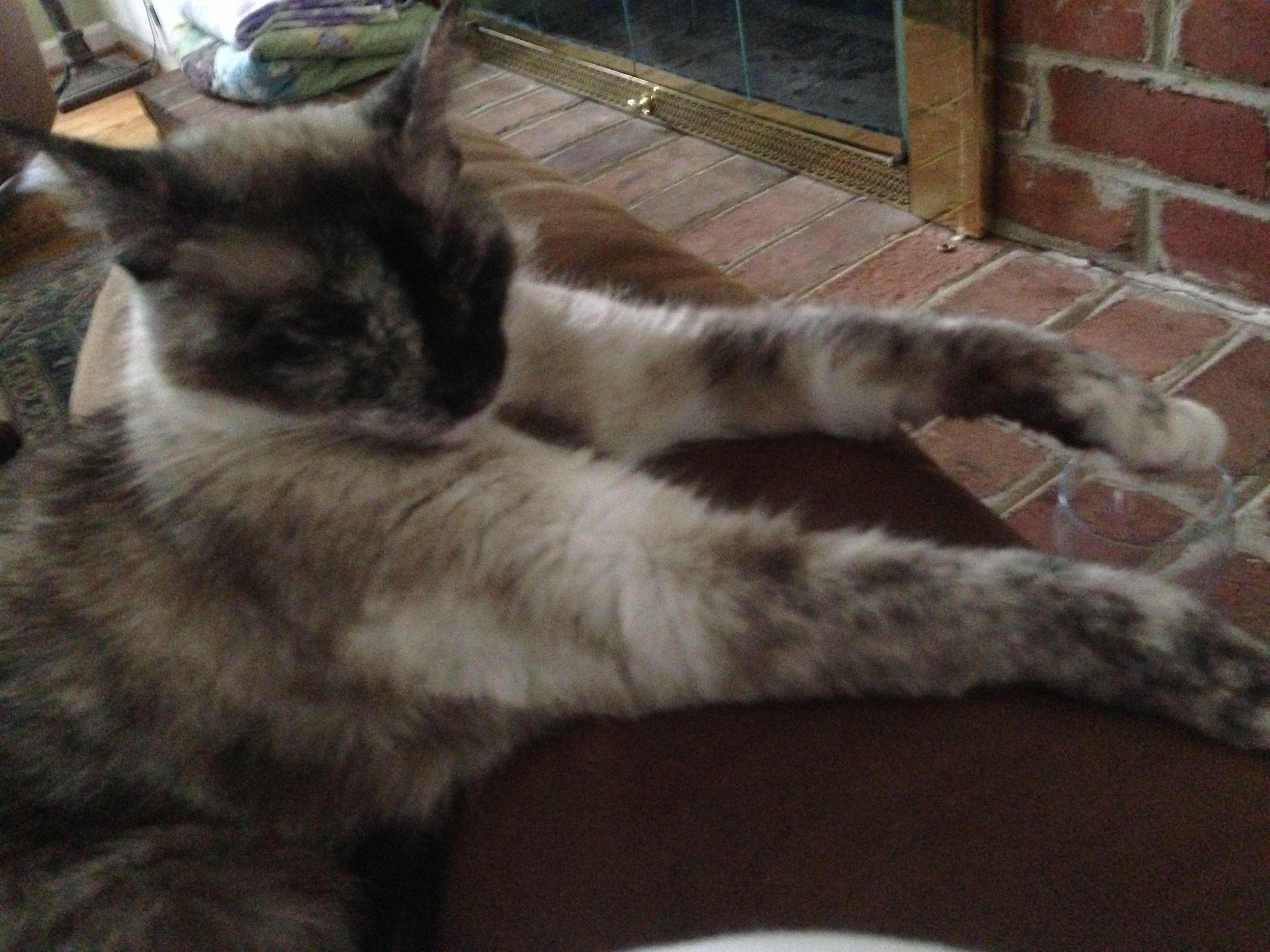 Mrs. Schma. My lazy kitty. Tortoiseshell point Siamese mix