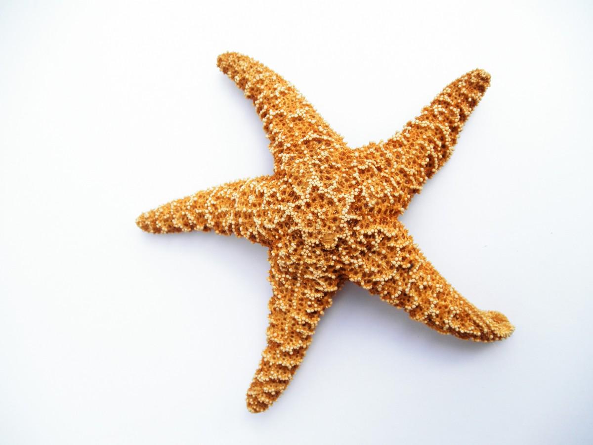 Starfish Dried Png Image Starfish Photo Template Phone Themes