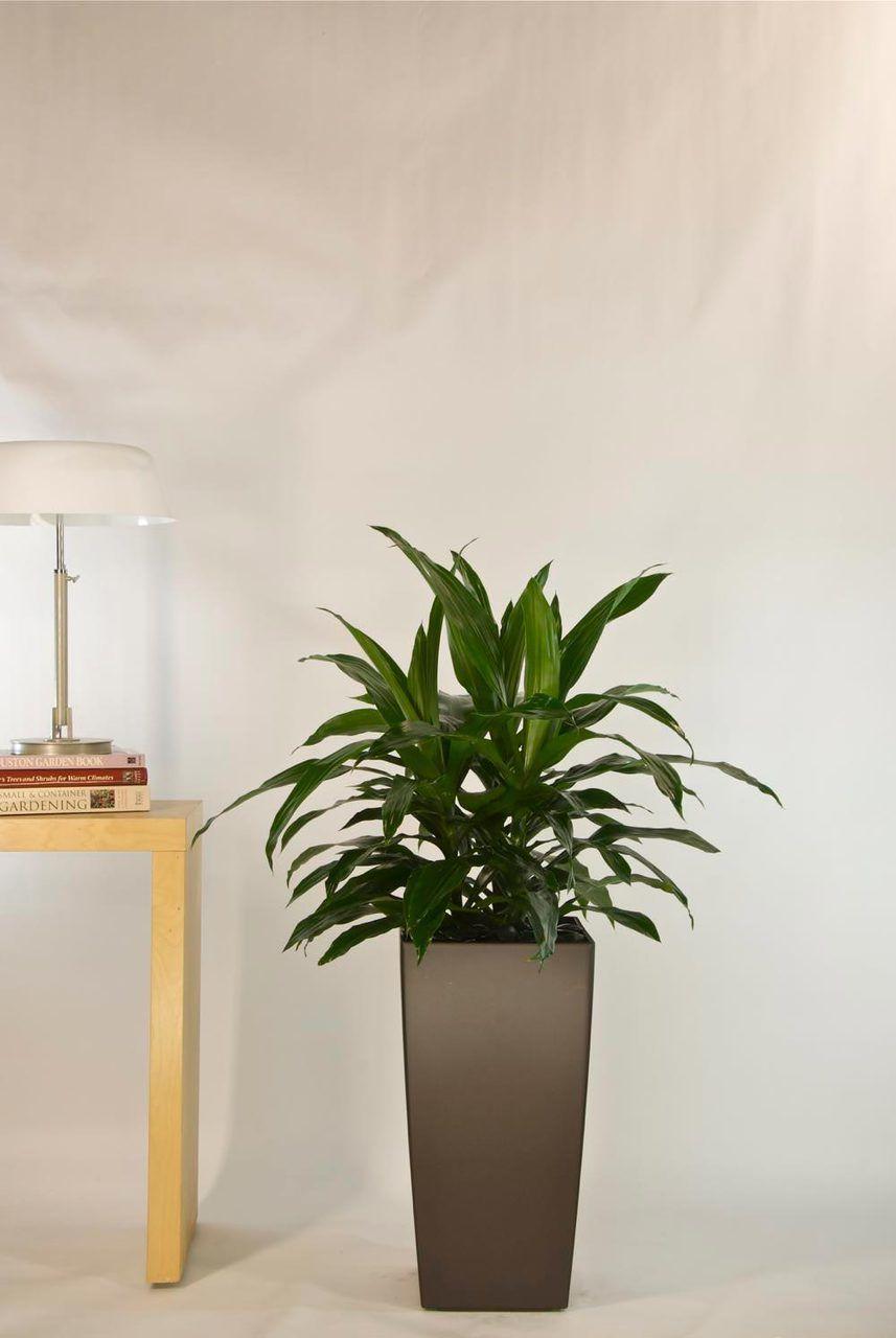 Janet Craig Bush Medium Houston Interior Plants 640 x 480