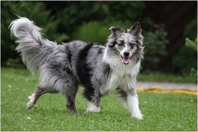 Australian Shepherd Vs Border Collie Chazhound Dog Forum Dogs