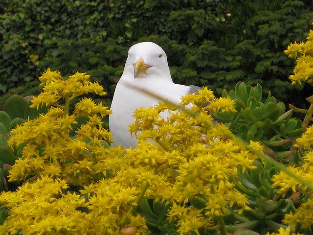 Gull with yellow flowers