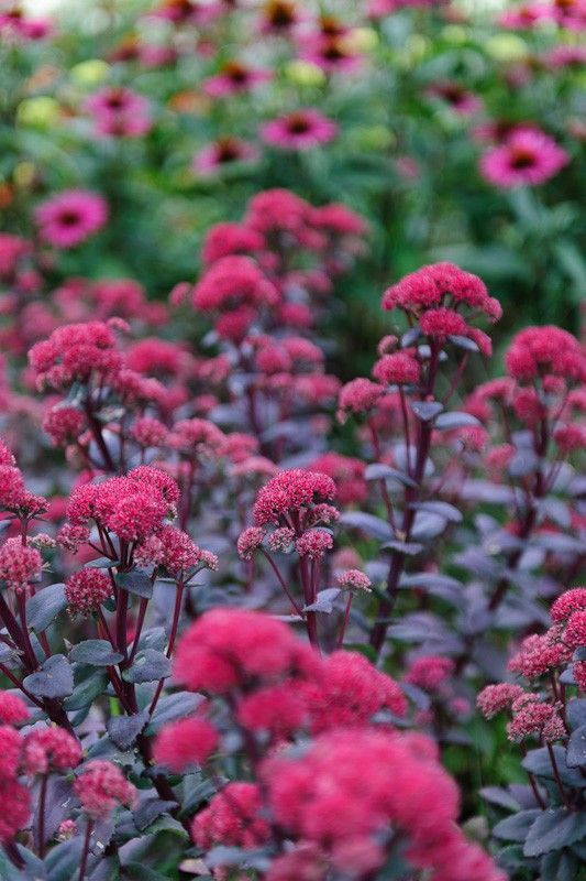 Sedum red cauli a fleshy leaved perennial with plum purple foliage there are many differing meanings connected with the flower fall flowers will need to set up their roots in warm soils you should know of the assorted mightylinksfo