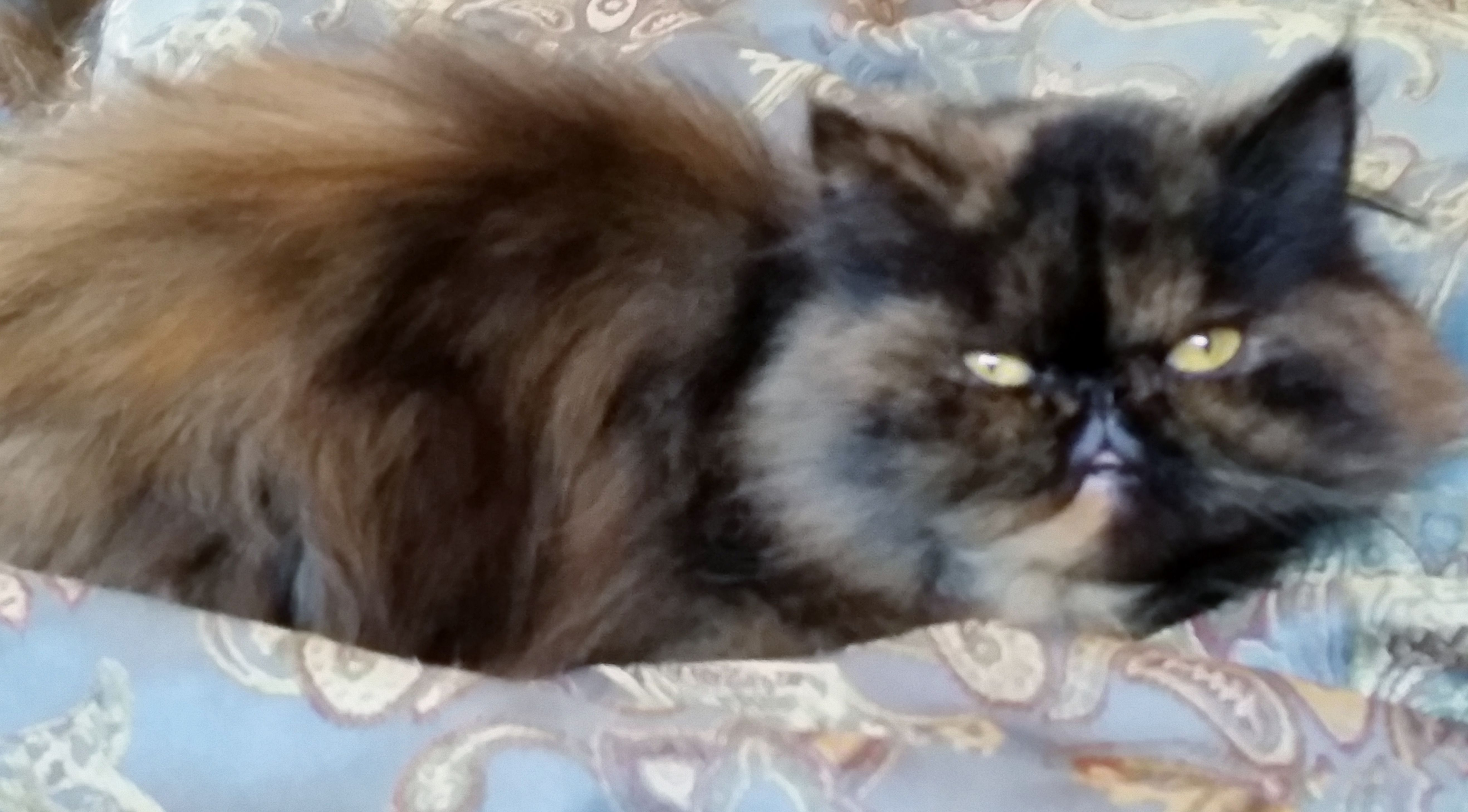 D Chapin's cats ~ Tinkerbell... the sweetest Persain