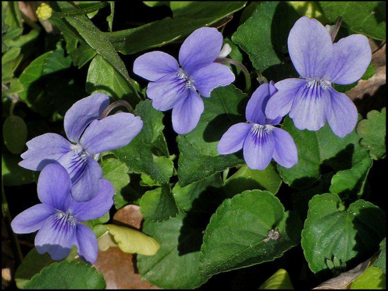 Heath Dog Violet Viola Canina Wild Flowers Uk Wild Flowers Beautiful Flowers