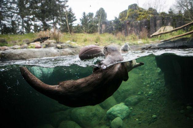 Meet Woodland Park Zoo S Own Legion Of Boom Woodland Park Zoo Zoo Wildlife