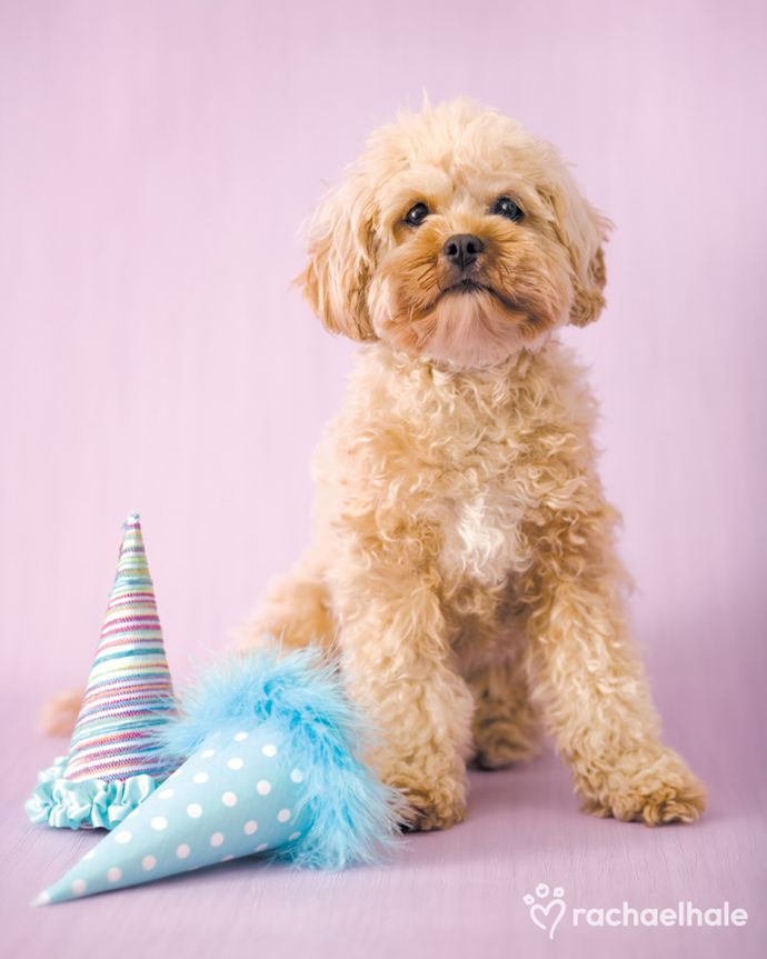 Ruby Cavoodle Two Many Hats For A Pup With Only One Head Dog Photoshoot Dog Birthday Puppies And Kitties