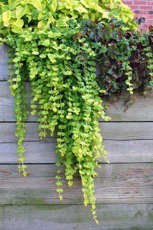 Außergewöhnlich Pfennigkraut, Lysimachia - Pflege und Sorten | pflanzen &OT_53