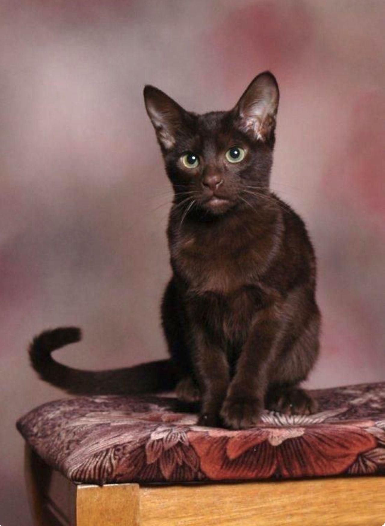 Sweet Havana Brown kitten. A wonderful cat breed calm