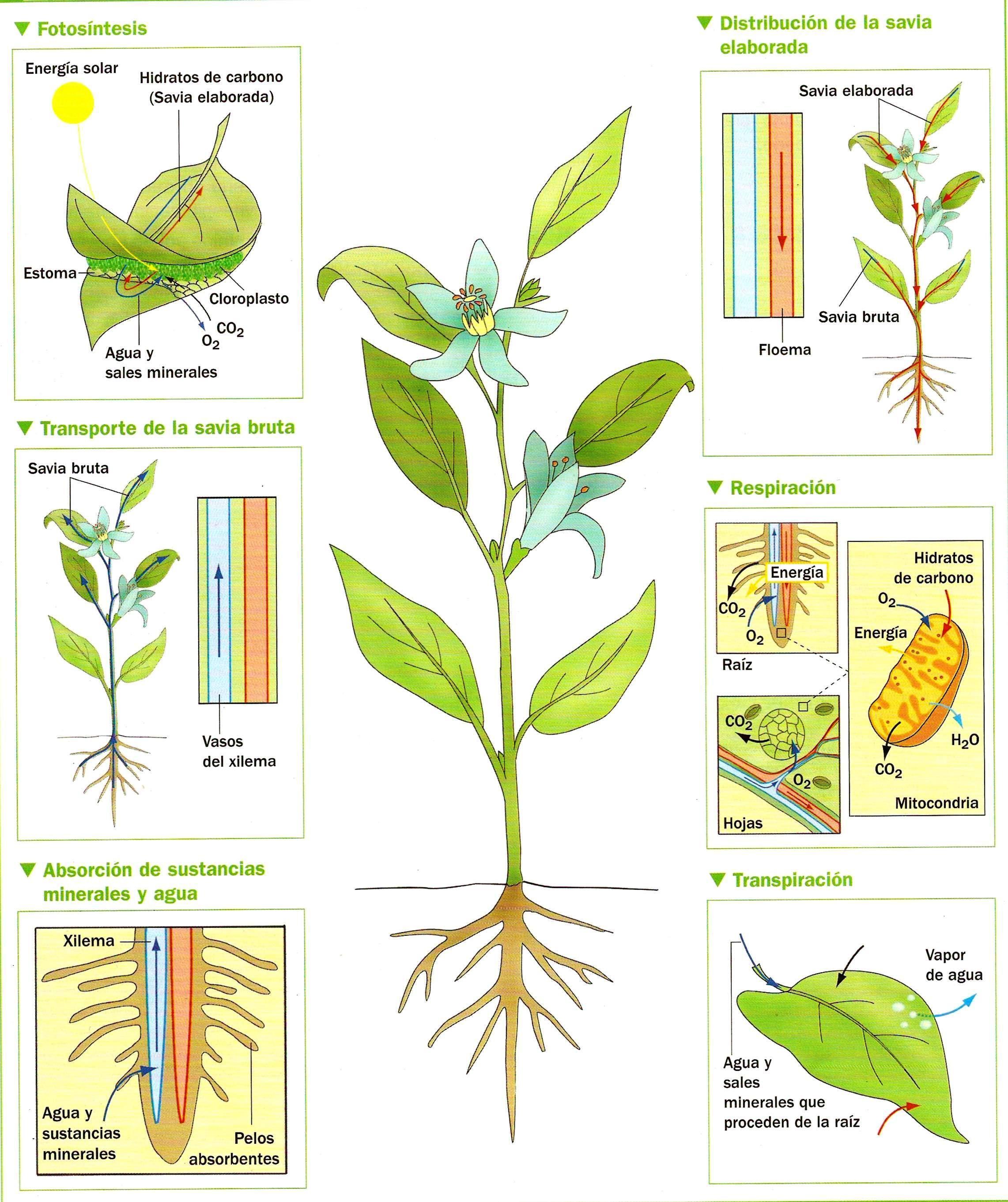 Ilustración de la nutrición-de-las-plantas. Transpiración ...