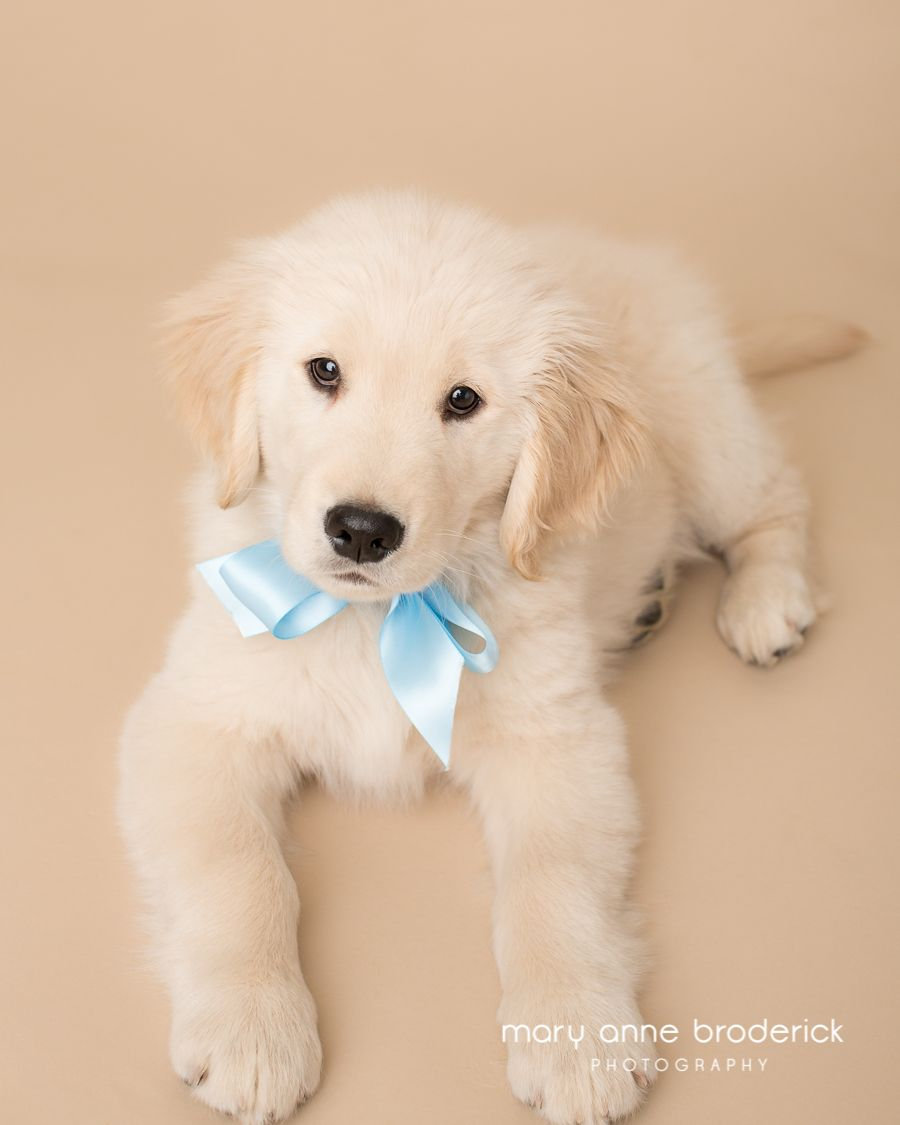 New Jersey Pet Photography Meet Jax The Golden Puppy