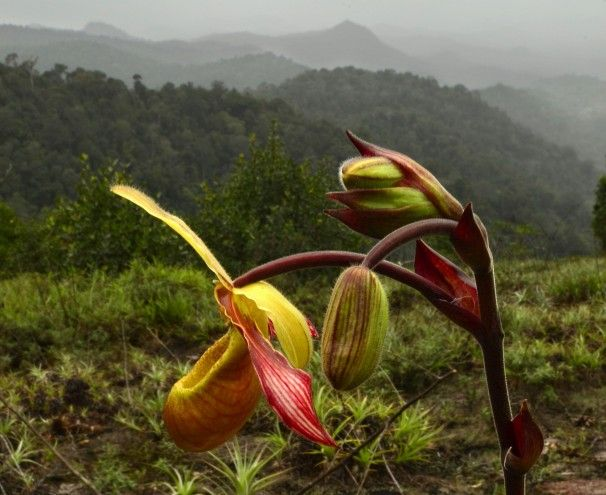 Phargmipedium lindleanum