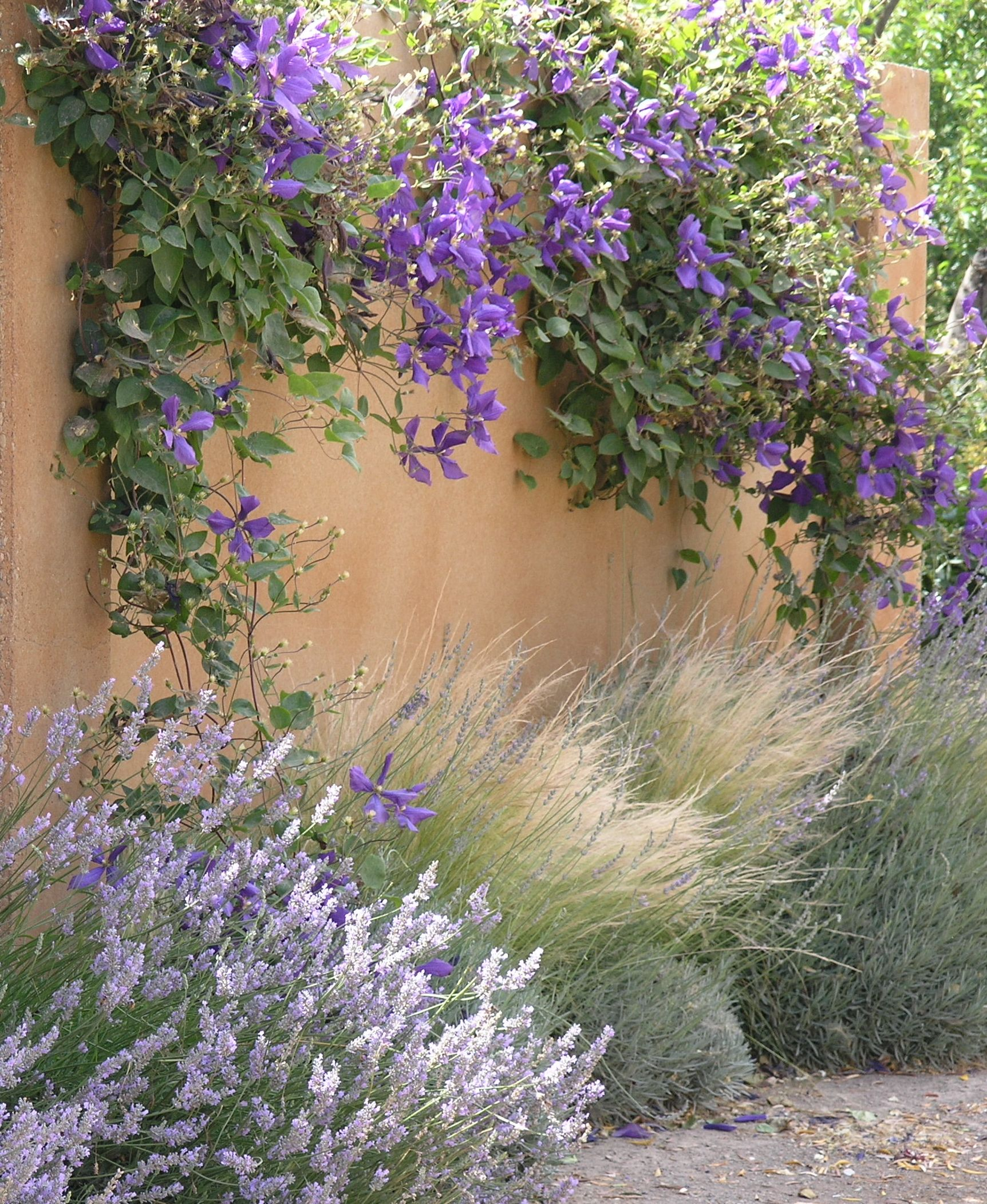 clematis lavender and grasses in a long plant bed or