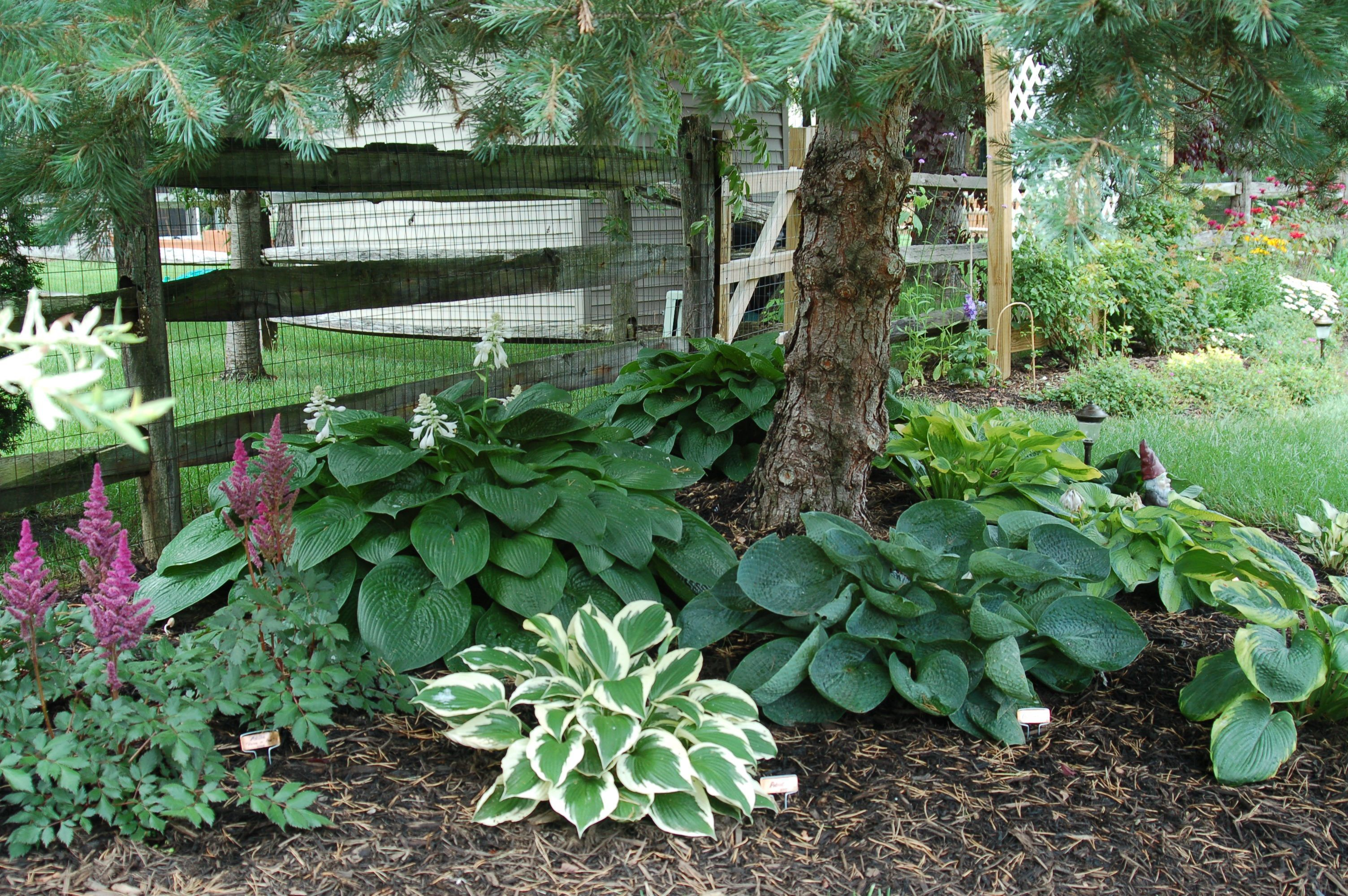 Hostas Under Pine Tree Garden Landscape Inspirations Landscaping What Grows Trees Ground Co Garden Ideas Under Trees Landscaping Trees Landscaping Around Trees