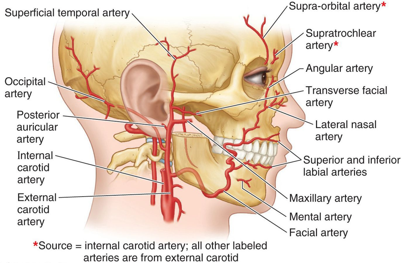 hight resolution of branches facial artery google search