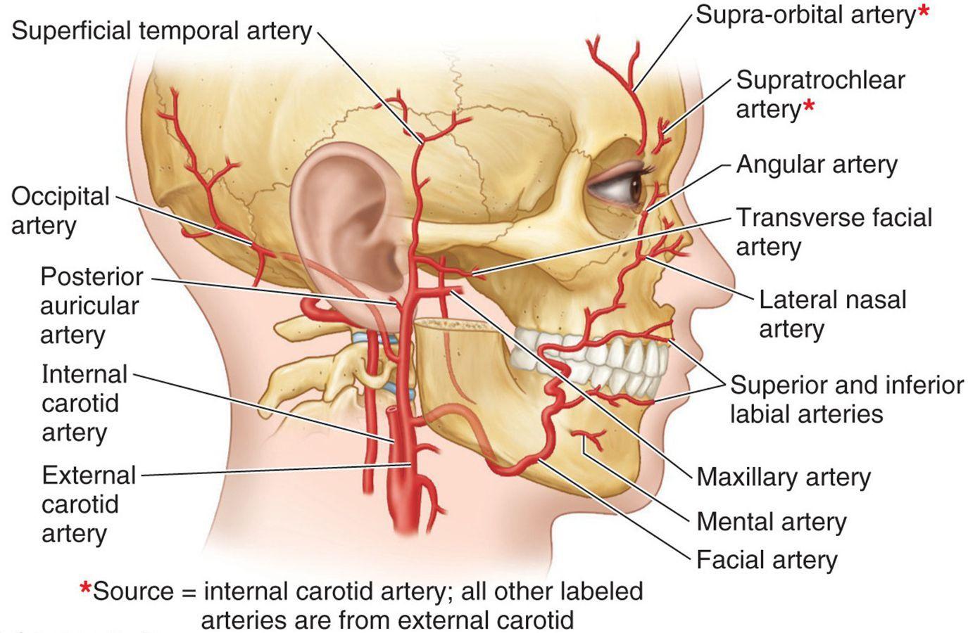 medium resolution of branches facial artery google search