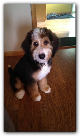 Our Available Bernedoodle Puppies | TriState Bernedoodles of
