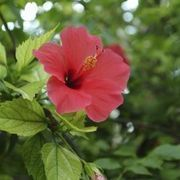 How To Care For A Braided Hibiscus Tree Ehow Garden Hibiscus