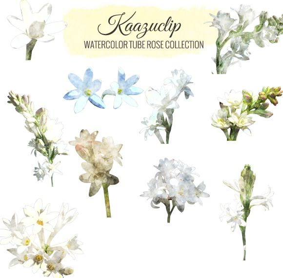 Watercolor Tube Rose Collection by Kaazuclip on Creative Market