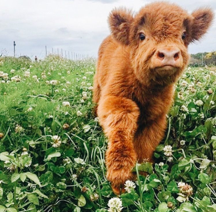 Pin By Julie Banman On Inspo Fluffy Cows Cute Baby Cow Baby Cows