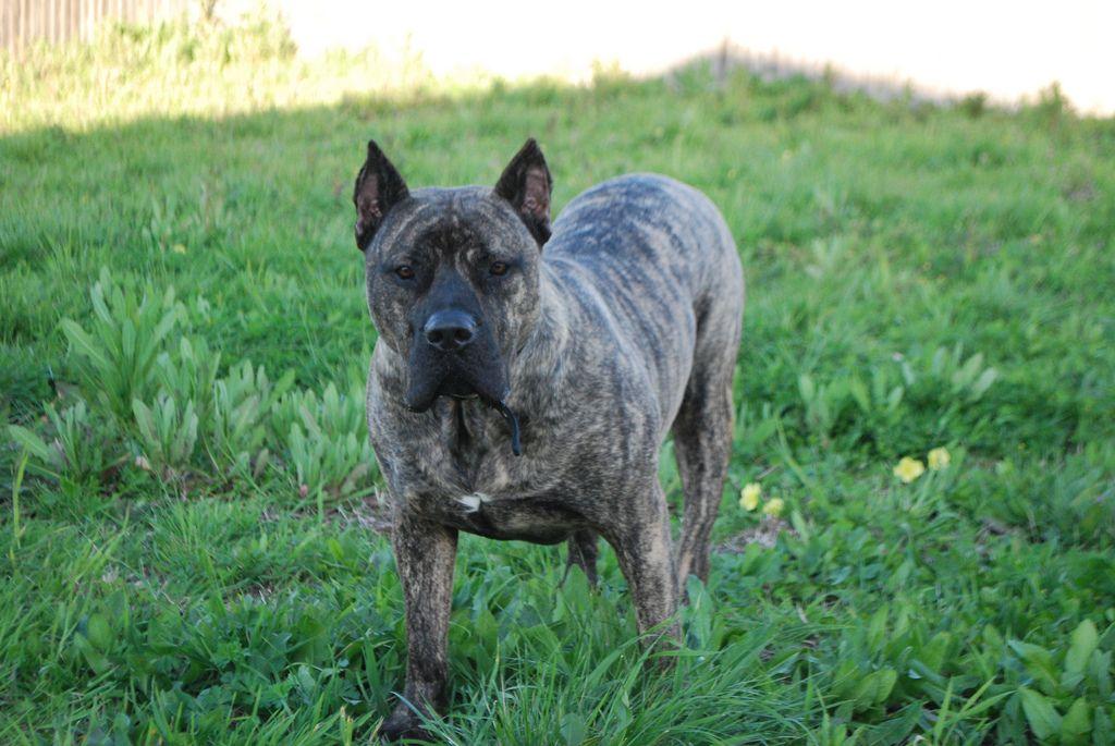 tuco4 Presa Canario Presa Canario (Dog Breed