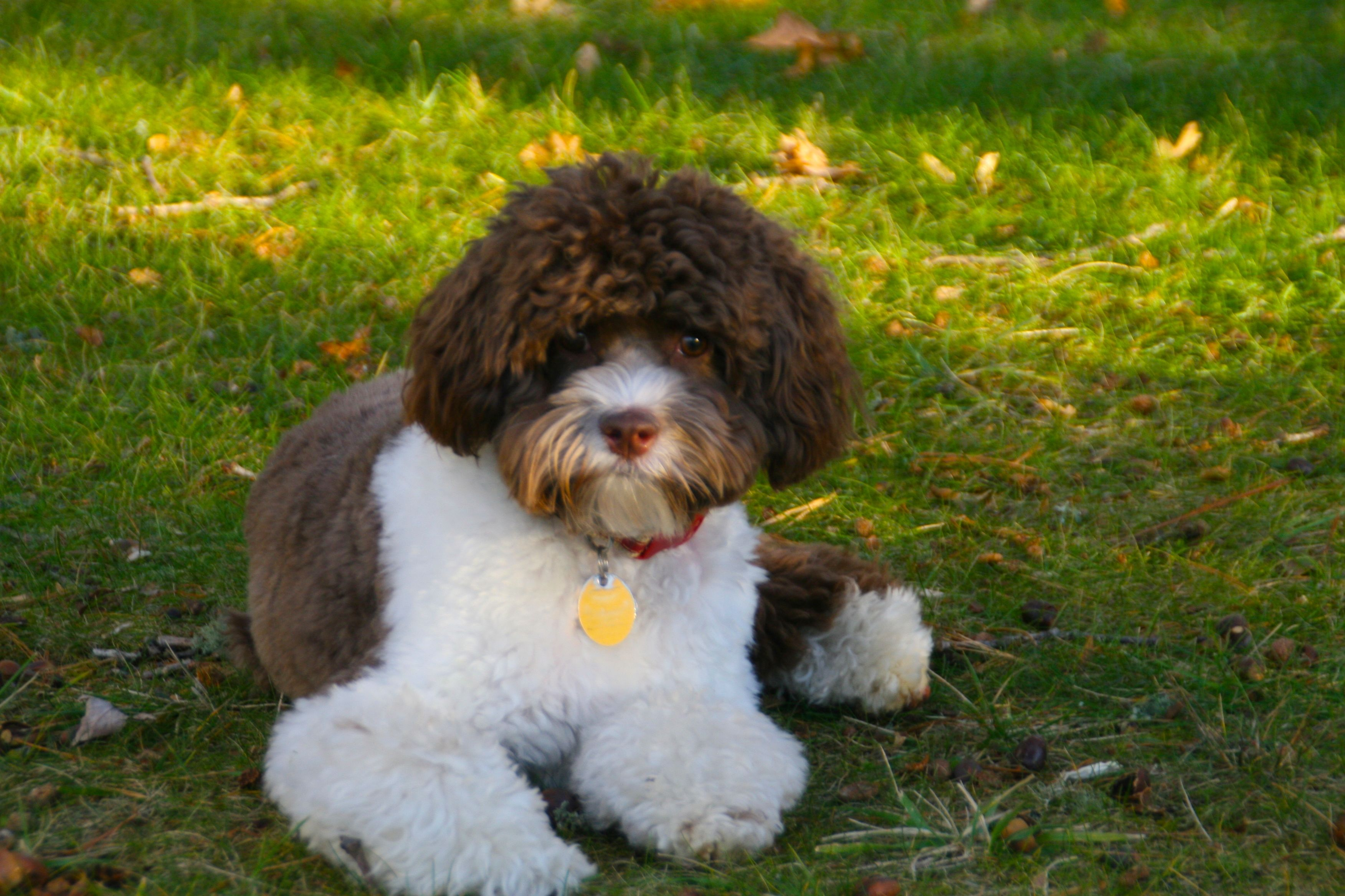 Chocolate Brown White Particolor Cockapoo In Florida Cockapoo Puppies For Sale Dog House Luxury Dog