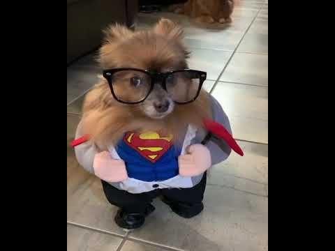 Adorable Pomeranian Dog Dressed As Superman Youtube Dog
