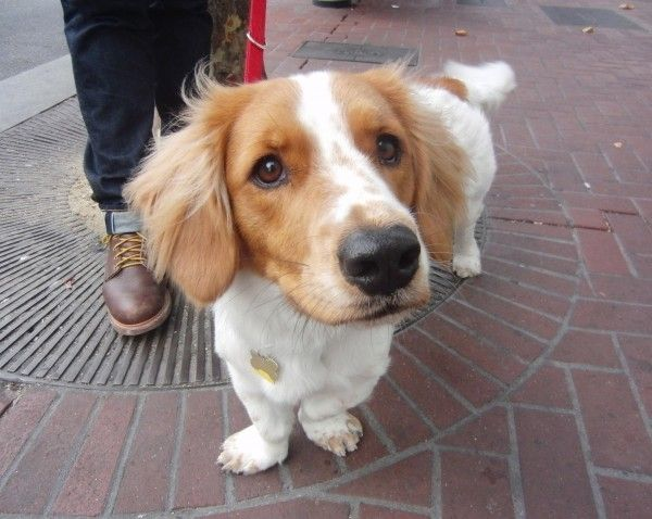 Dog Of The Day Verne The Basset Hound Brittany Spaniel Basset