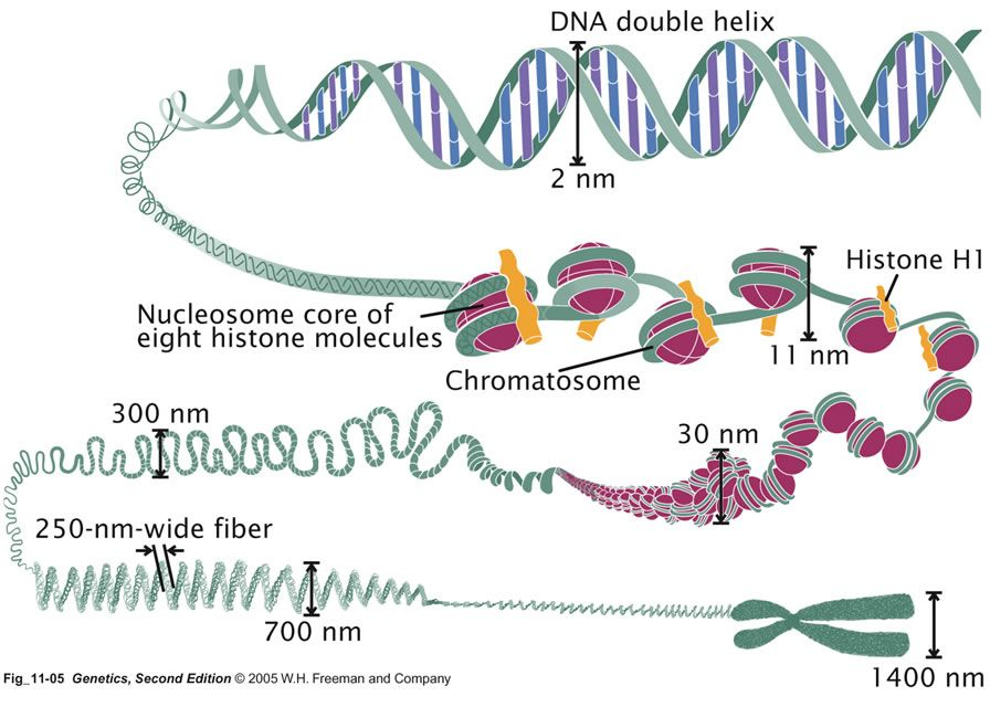 Image result for structure of chromosome | Science | Pinterest