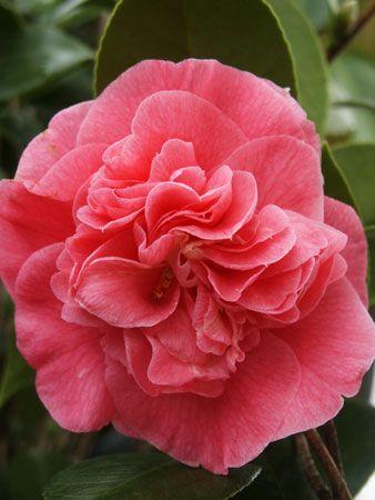 Camellia Japonica Ack Scent Flowers Beautiful Flowers Native Plants