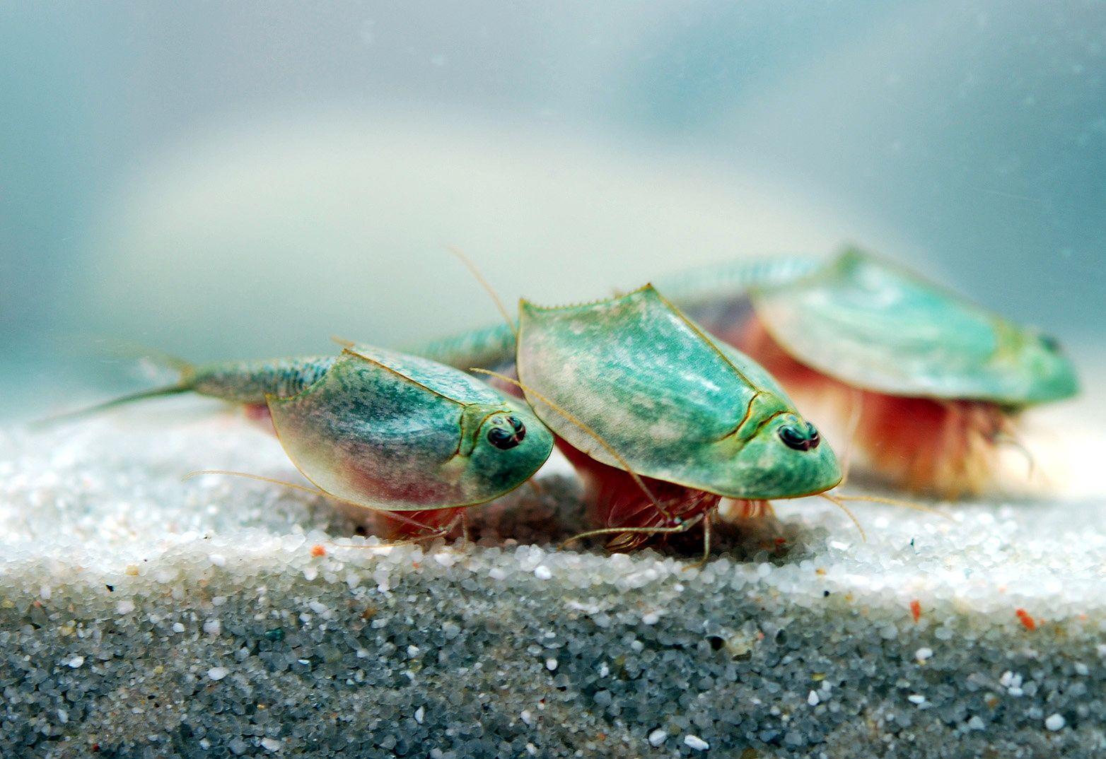 Triops longicaudatus animals aquascaping pinterest for Rundes aquarium