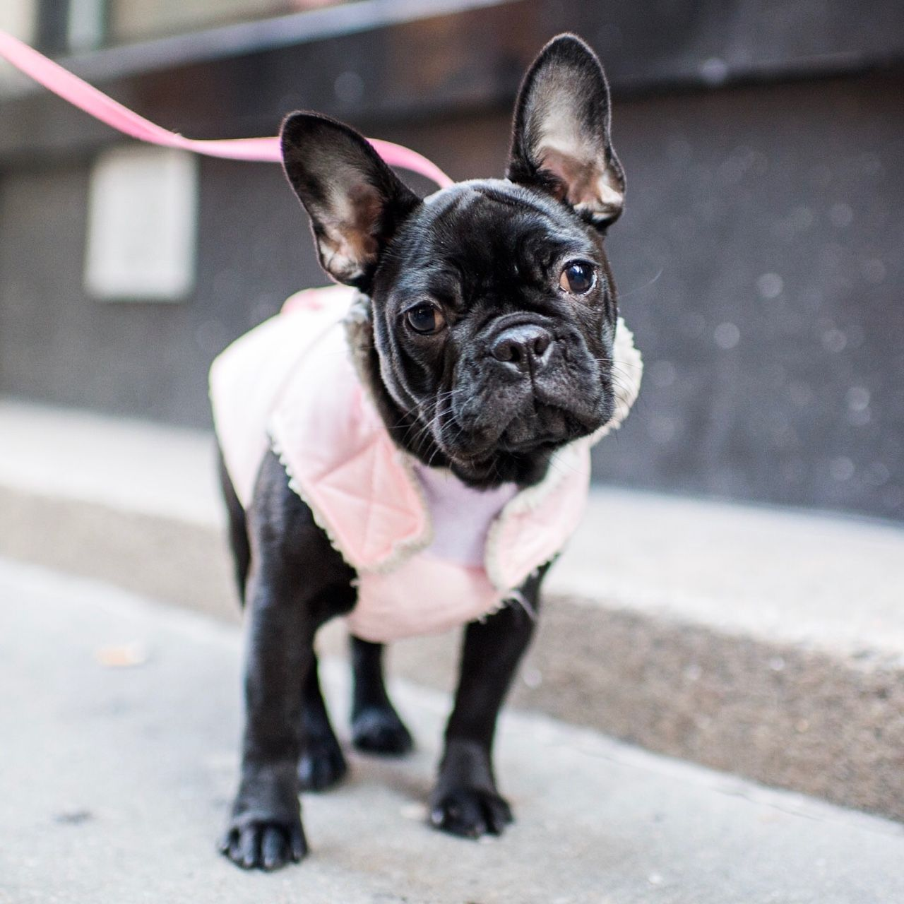 Bernice, French Bulldog (6 m/o), Crosby & Spring St., New