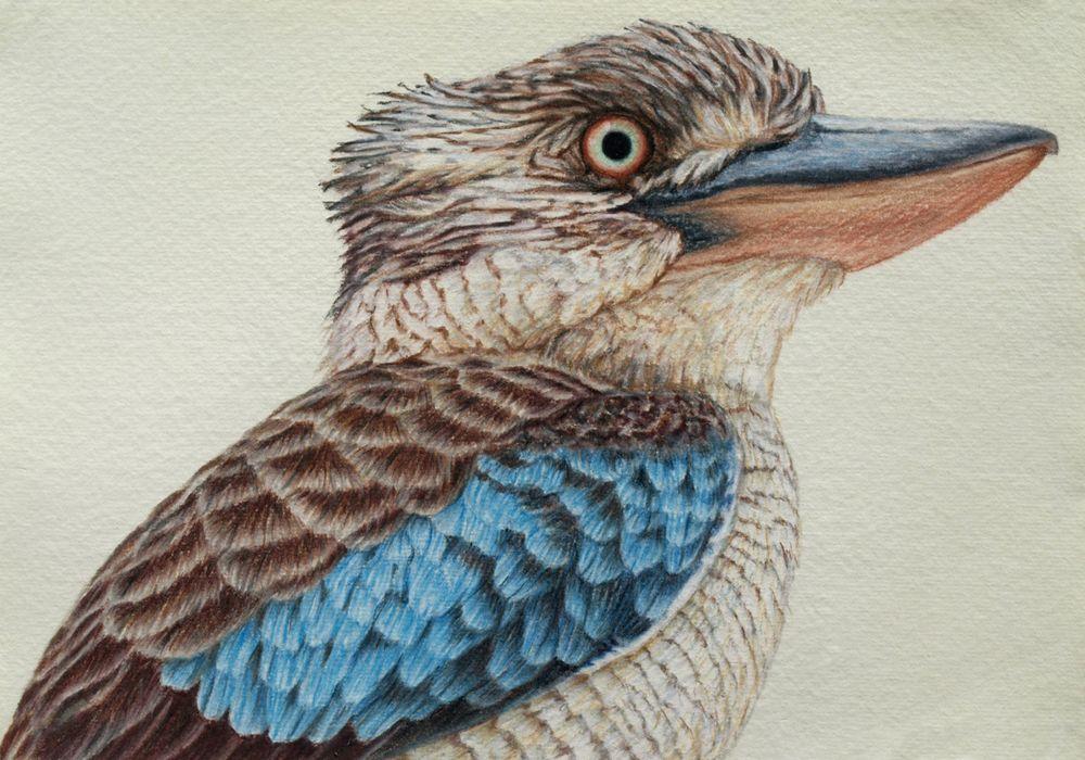Blue Winged Kookaburra Drawing Rachel Newling JPEG Image 1000