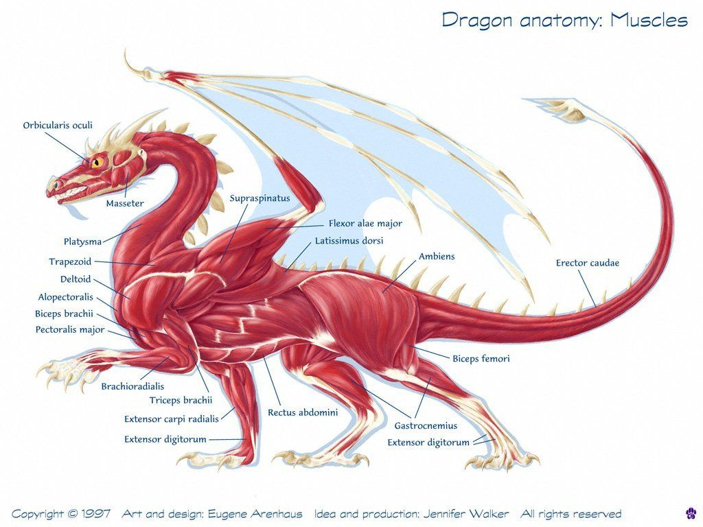 Image Result For Anatomy Of A Dragon Body Muscle Form Pinterest