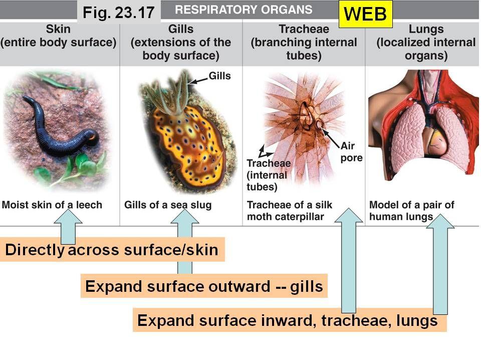 Types of Respiratory Organs | Nursing | Pinterest
