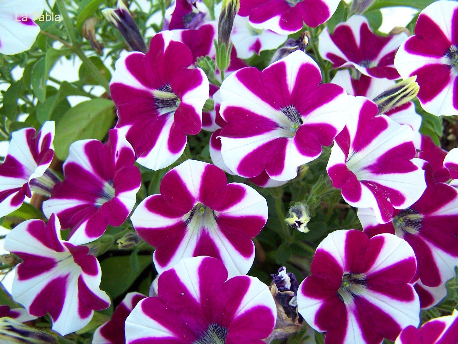 Petunia Con Imagenes Petunias Plantas De Exterior