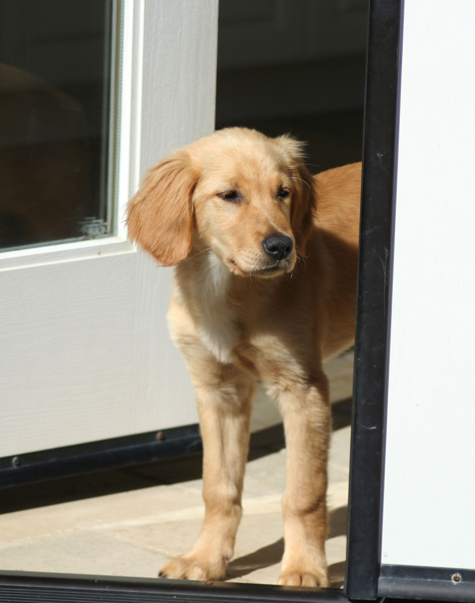 This Is Shelby And She Is 4 Months Old Puppies Need Obedience