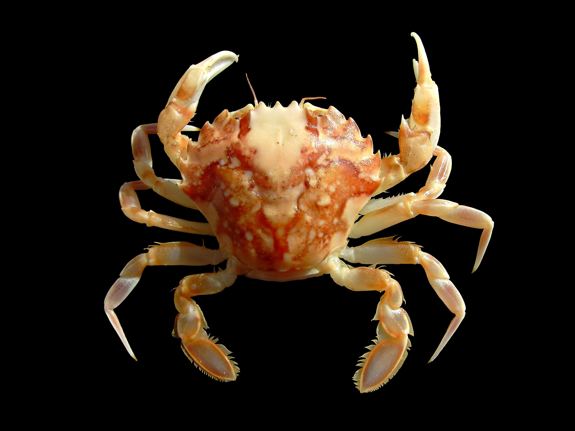 Liocarcinus marmoreus is a species of crab found in the