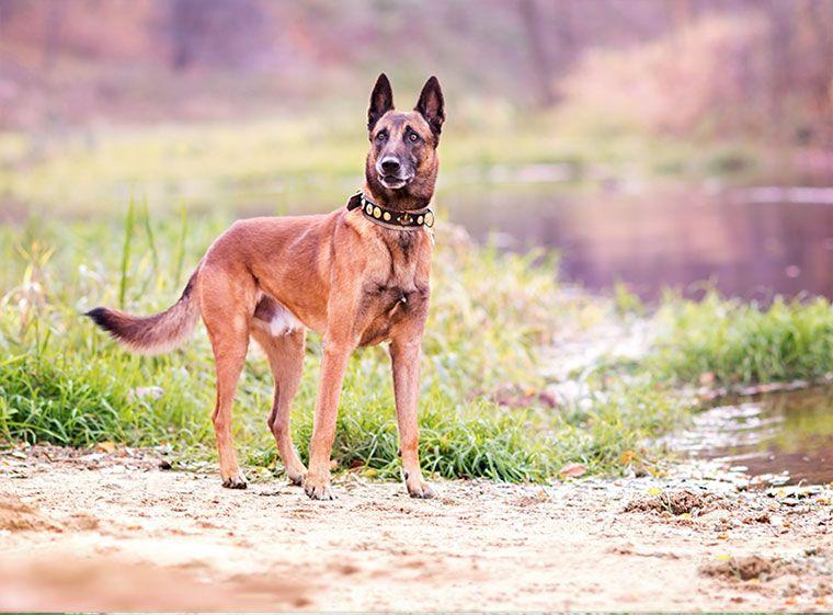 Belgischer Schaferhund Im Rasseportrait Zooroyal Magazin