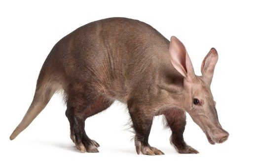 Image of: Dangerous Nocturnal Aardvark Is Nocturnal Animal Found All Over Africa In Dry And Wet Climates Pinterest An Exhaustive List Of African Animals With Some Stunning Photos
