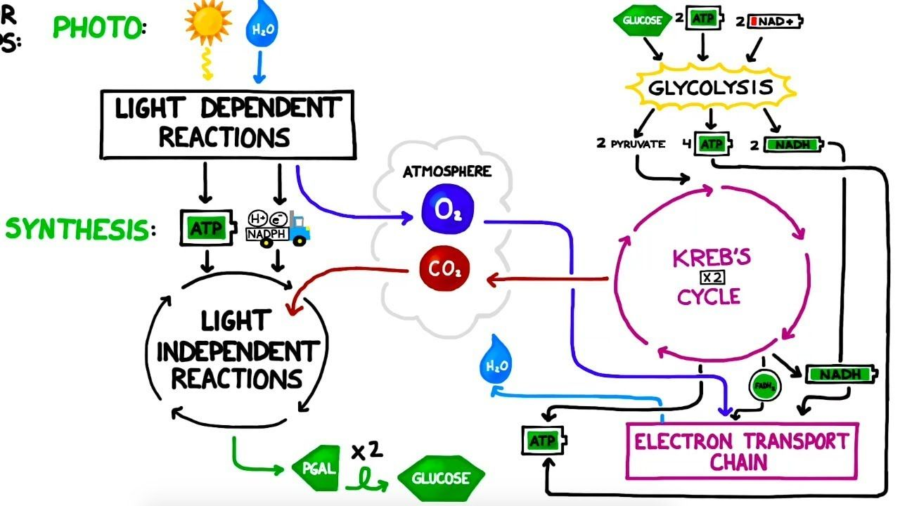 Photosynthesis vs. Cellular Respiration Comparison