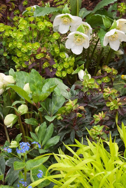 Low Light Outdoor Plants Spring Garden Scene Of Hellebore & Primrose  Plant & Flower Stock