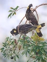 Image result for paintings of black cockatoos