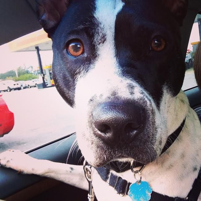 Pitbull Pointer Mix The Cutest Crazy Dog Lady Crazy Dog