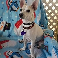 Adopt A Pet Cheese It Hamilton On The Coolest Chihuahua